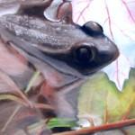 Bull Frog - Spring 2008, Chalk Pastel